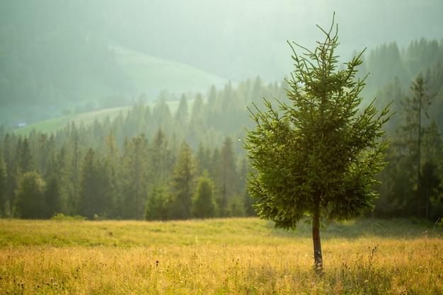 Een eenzame pijnboomboom tegen bos en bergen tijdens een lichte mist.