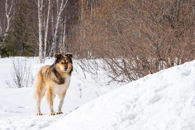 Een eenzame tuinhond staat in de winter in de sneeuw. de oude hond kijkt verdrietig. zorg voor dakloze dieren concept.