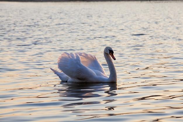 Een eenzame witte zwaan mooie watervogels zwanen in het voorjaar een grote vogel bij zonsondergang of zonsopgang in de zon oranje licht en water