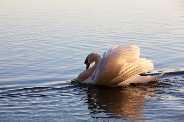 Een eenzame witte zwaan Premium Foto