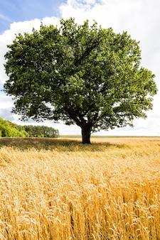Een eik groeit in een veld met landbouwgewassen, een veld voor het verbouwen van voedsel