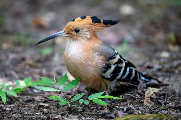 Een endemische hopvogel uit madagascar, met een kleurrijk verenkleed