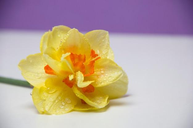Een enkele bloem ligt op een witte achtergrond. gele narcis. lente bloemen. dauwdruppels op bloemblaadjes