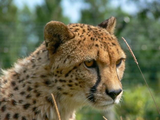 Een enkele cheeta buiten in een dierentuinomgeving