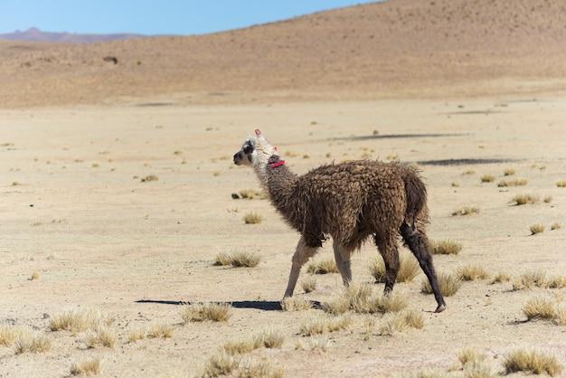 Eén enkele lama op het andes-hoogland in bolivia