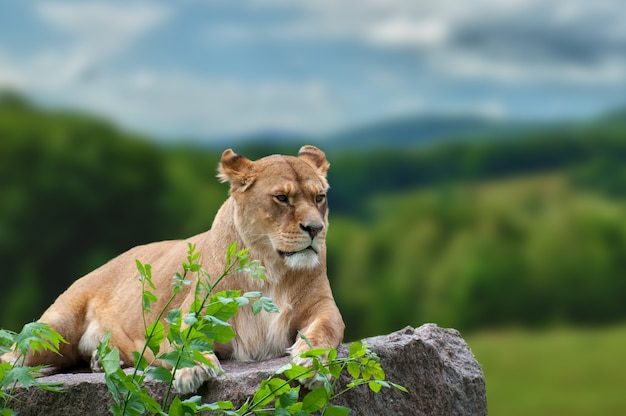 Een enkele leeuwin ligt aandachtig in het korte groene gras