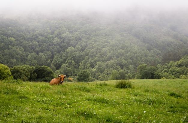 Een enkele vleeskoe in het groene gras op de boerderij.