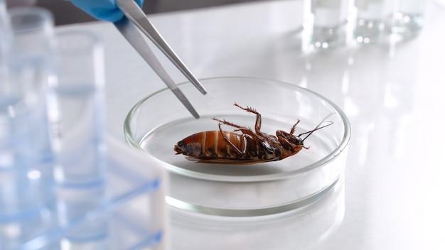 Een enorme dode kakkerlak ligt in een petrischaaltje. wetenschapper test pesticiden