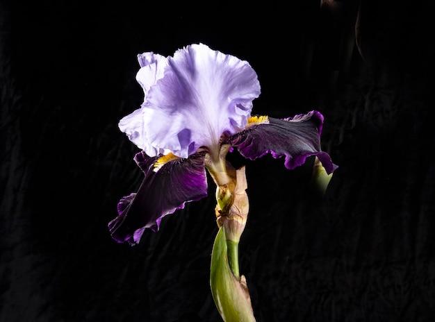 Een enorme hybride baardiris met uitlopende bloembladen