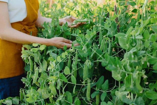Een europese vrouw in een oranje schort oogst komkommers en erwten in haar tuin een vrouwelijke tuinman