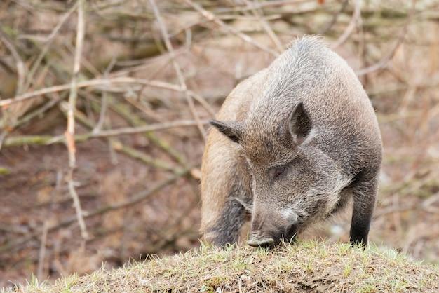Een everzwijn in het bos. sus scrofa.