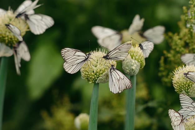 Een familie van koolvlinder op bloeiende uien