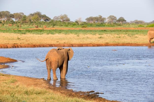 Een familie van rode olifanten bij een waterpoel midden in de savanne