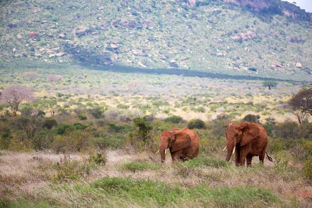 Een familie van rode olifanten op hun tocht door de savanne