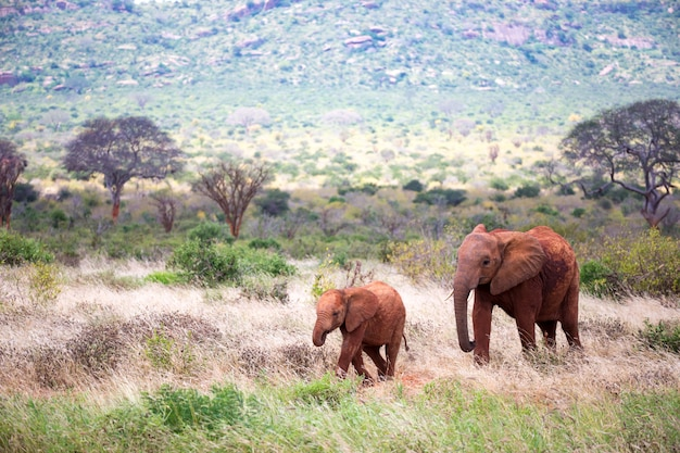 Een familie van rode olifanten op hun trektocht door de savanne