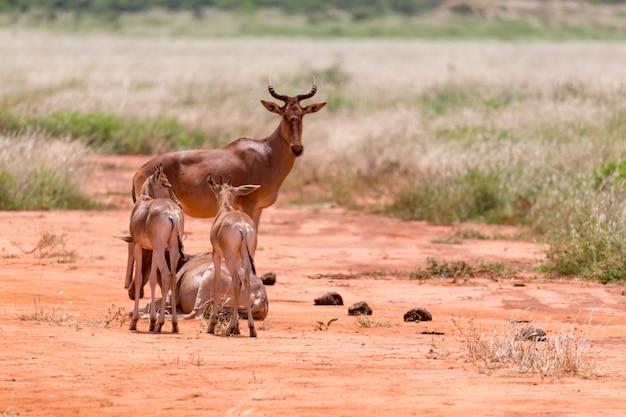 Een familie van topi-antilopen in de keniaanse savanne
