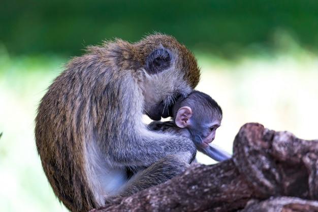 Een familie vervet met een babyaapje