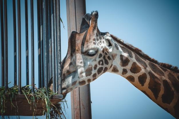 Een fantastisch portret van een giraf tijdens het eten