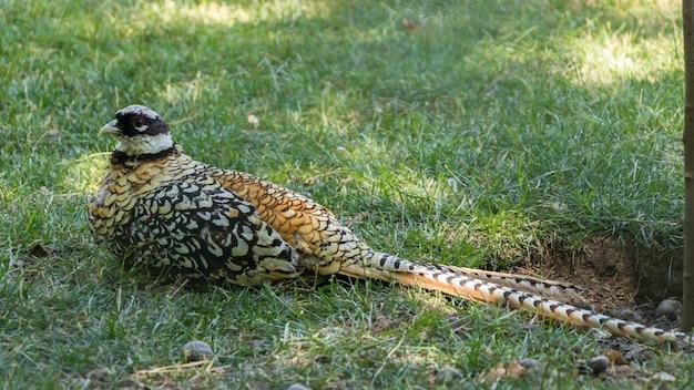 Een fazant in het gras