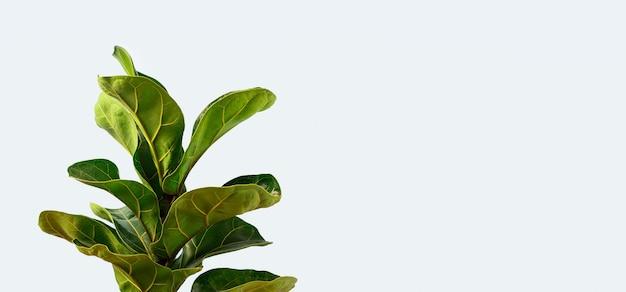 Een fiddle leaf fig met kopie ruimte