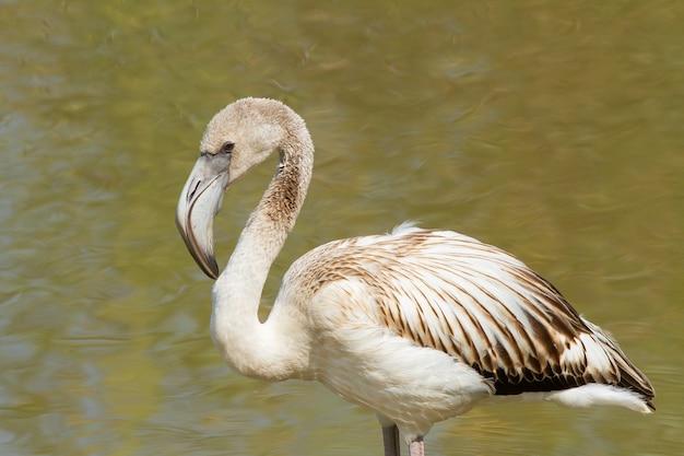 Een flamingo in het water