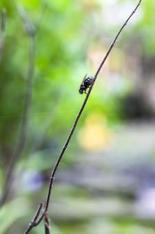 Een flesvlieg zittend op een dode heilige basilicumtak van dichtbij in de tuin