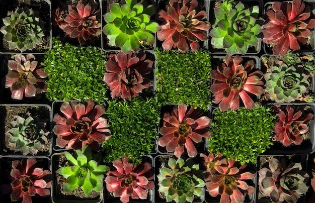 Een foto van groenblijvende vetplanten op een zonnige middag op straat