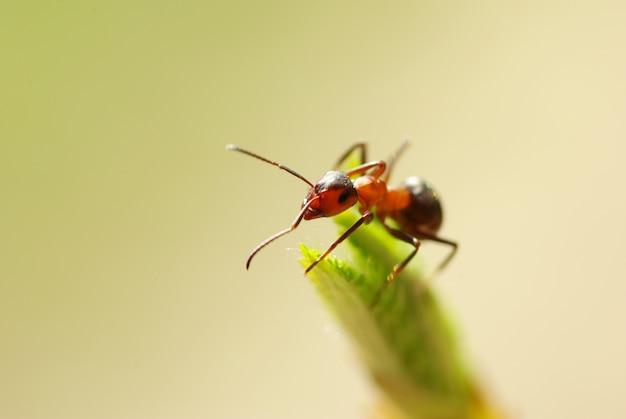 Een foto van rode mierenclose-up