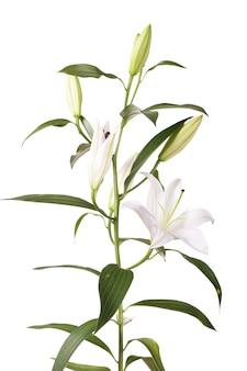 Een fragment van witte lelies