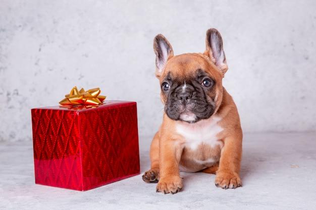 Een franse bulldog puppy met een cadeau op een grijze achtergrond