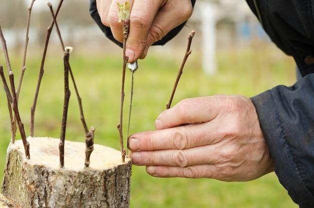 Een fruitboom enten met levende stekken. tuinman maakt een spleet in de oude schors. het kweken van een nieuwe fruitsoort