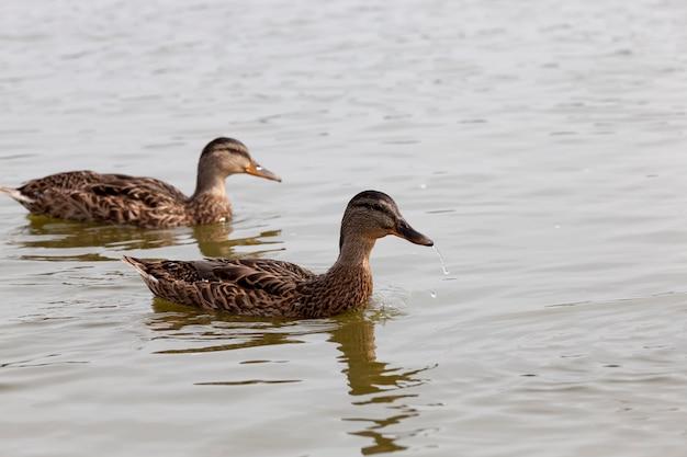 Een gebied met een groot aantal meren waar eenden leven, wilde watervogels eenden in de natuur, eenden in hun natuurlijke habitat