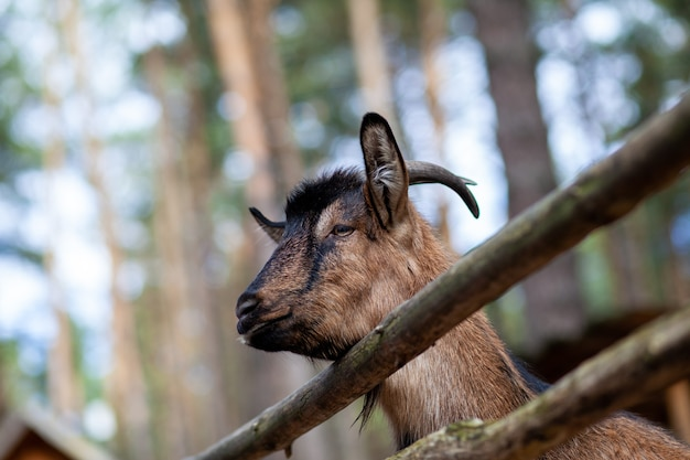 Een gehoornde geit kijkt uit door een houten hek. het dier bedelt om eten van bezoekers. landelijke hoek.