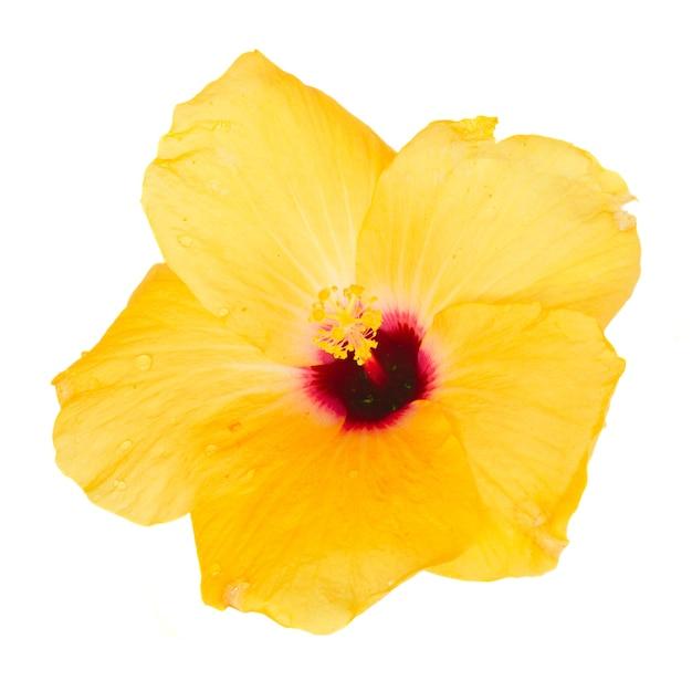 Een gele hibiscusbloem met geïsoleerde bladeren