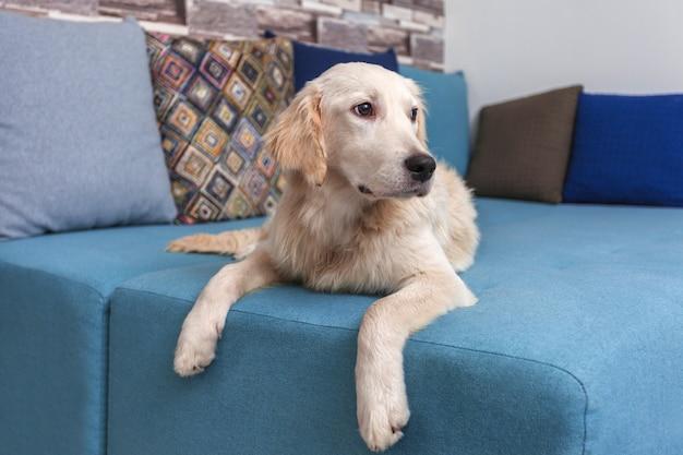 Een gele labrador retriever lag thuis op bed. hondenras golden retriever. huisdieren.