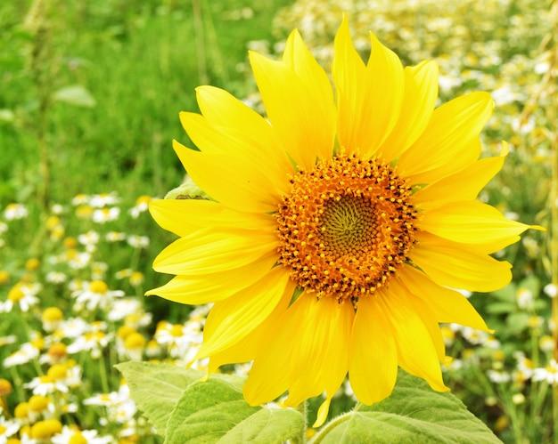 Een gele zonnebloem bloem in een veld met daisy bloemen close-up.