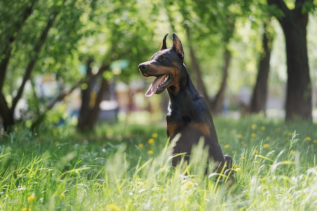 Een gelukkige doberman zit in het hoge groene gras en loopt met de hond in het park