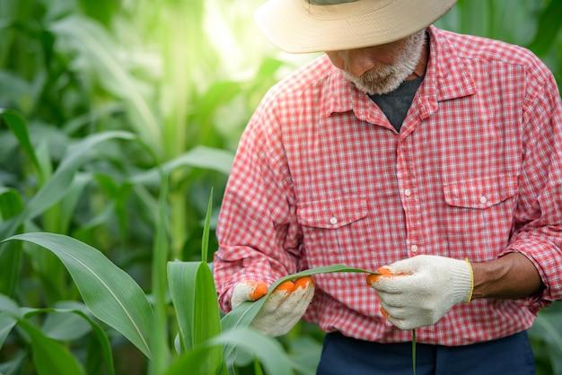Een gelukkige oudere man die een senior boer is die maïsbladeren onderzoekt en onderzoek doet op het maïsveld.