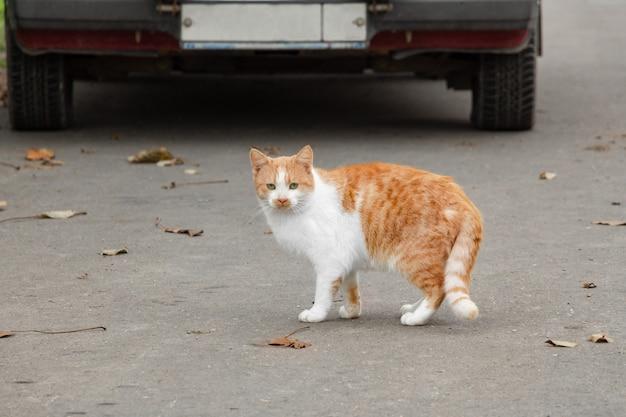Een gemberkat steekt de weg over. dakloos dier op de stadsstraat.