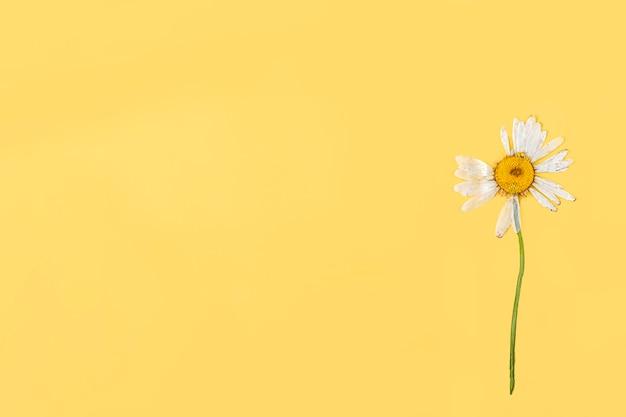 Een geperste gedroogde kamille bloem op gele achtergrond. platliggend, mock-up compositie voor ansichtkaart, uitnodigingskaart. ruimte voor tekst kopiëren. herbarium, bloemenachtergrond.