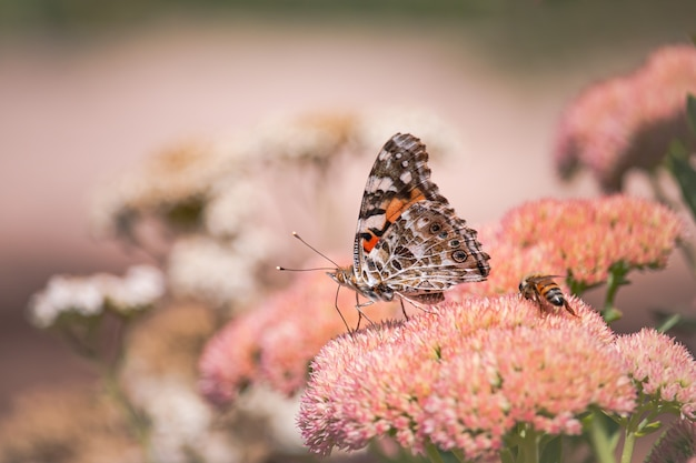 Een geverfde dame, cosmopolite (vanessa cardui) die 's ochtends nectar opzuigt van gele bloemen.