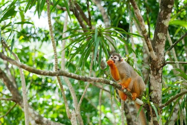 Een gewone eekhoornaap die in de bomen speelt