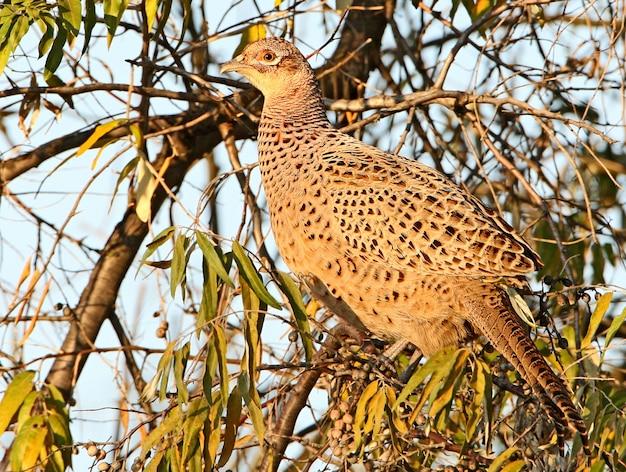 Een gewone fazantvrouw (phasianus colchicus) werd gefotografeerd op een boom in de zachte ochtendzon. ongewoon gedrag voor deze soort