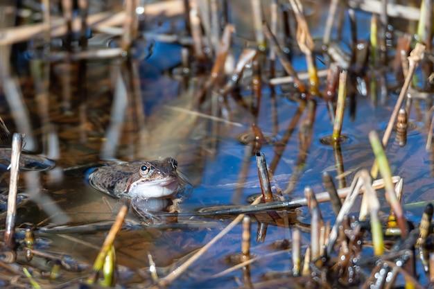 Een gewone kikker ligt in het water in een vijver tijdens de paartijd in de lente.