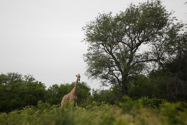 Een giraf die naar de camera kijkt