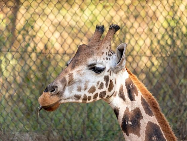 Een giraf (giraffa camelopardalis) gedurende de dag.
