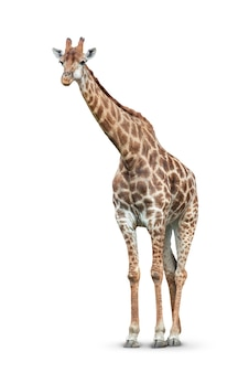 Een giraf is geïsoleerd op wit