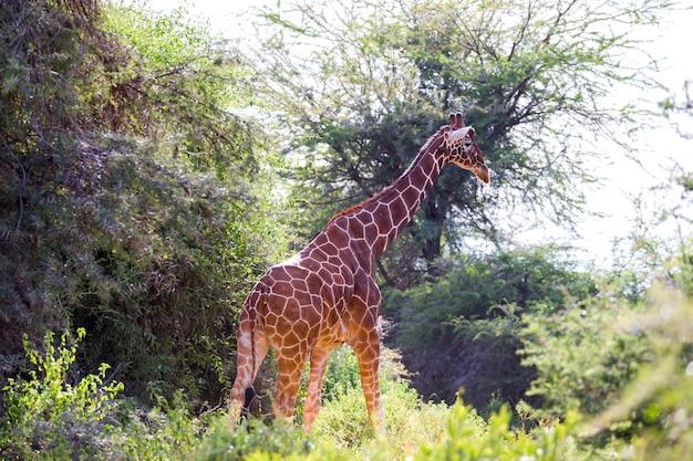 Een giraf staat tussen de acaciabomen