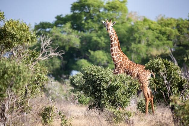 Een giraf staat tussen de struik en de bomen