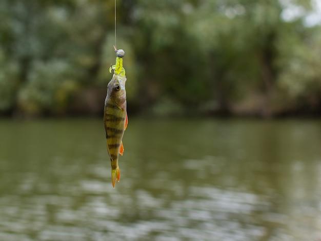 Een goede vangst, kleine baars aan een hengelhaak